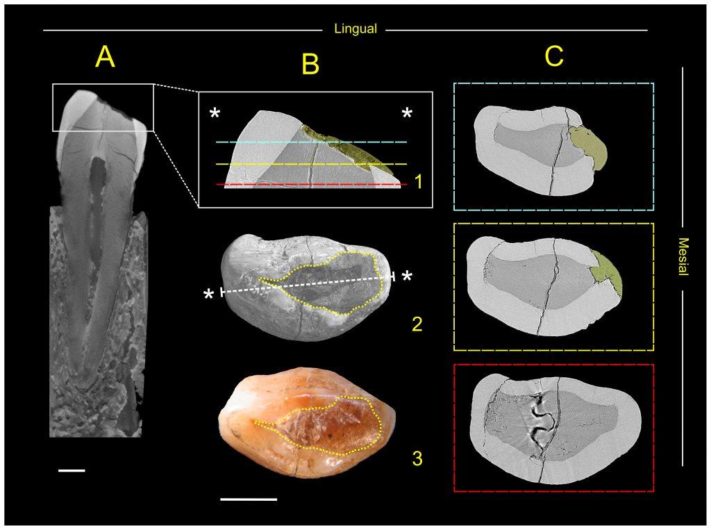 struttura interna del canino mediante microtomografia a raggi X con luce di sincrotrone.